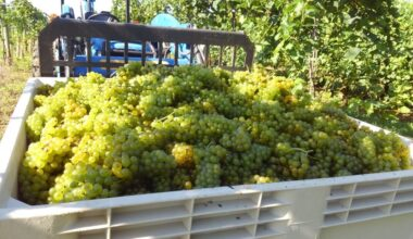 Many grapes in large crate, outside
