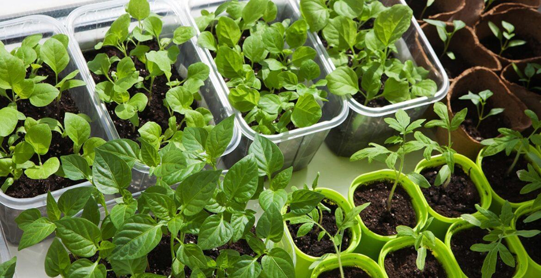 Starter plants WEB